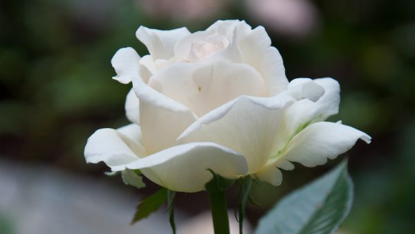 white-rose-wallpaper3-600x338