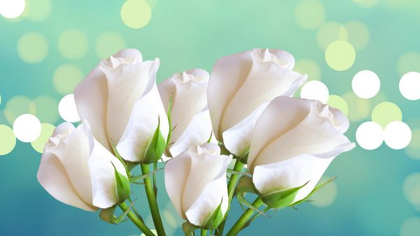 white-rose-wallpaper7-600x338
