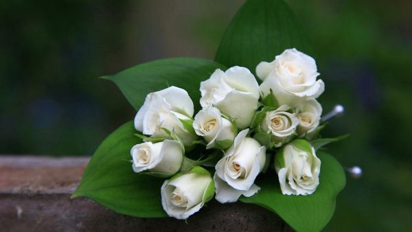 white-rose-wallpaper9-600x338