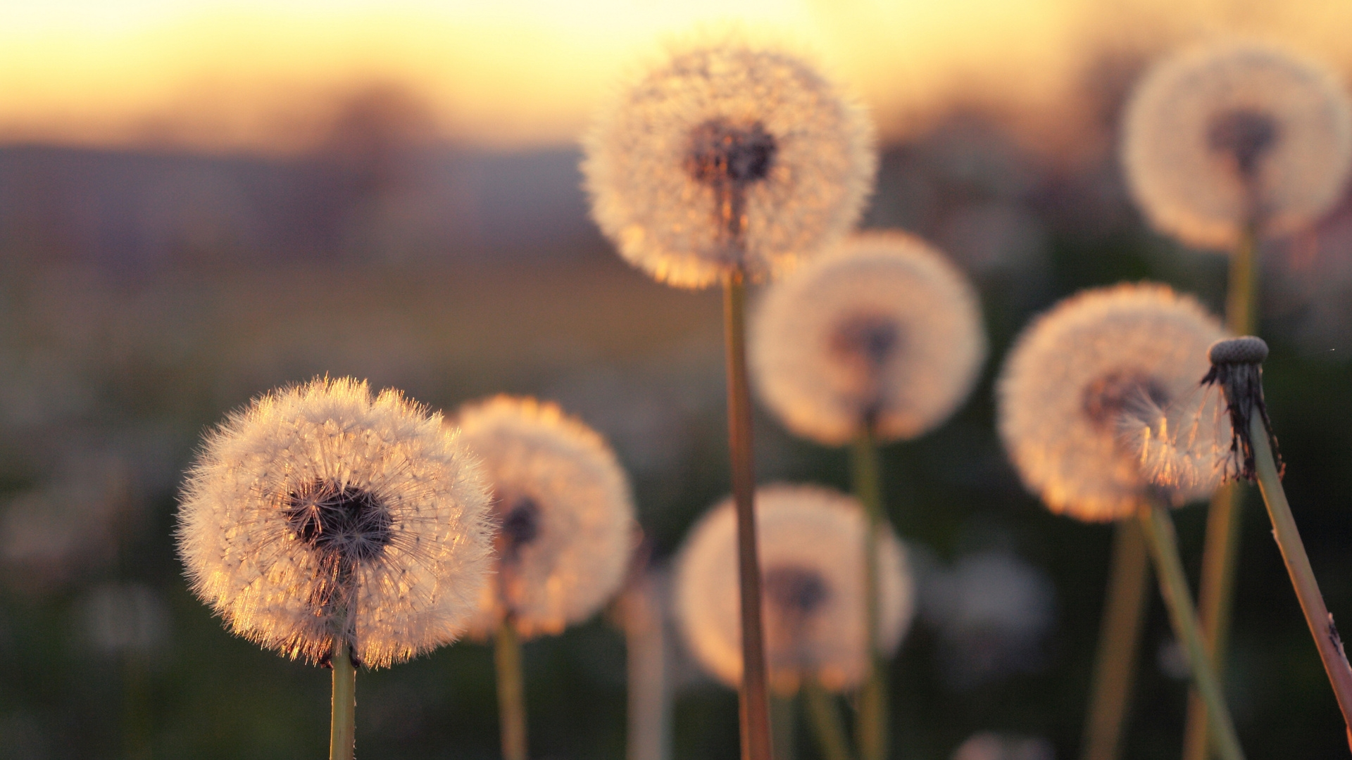 1920x1080-Summer-Blurred-Dandelions-wallpaper-wp360873