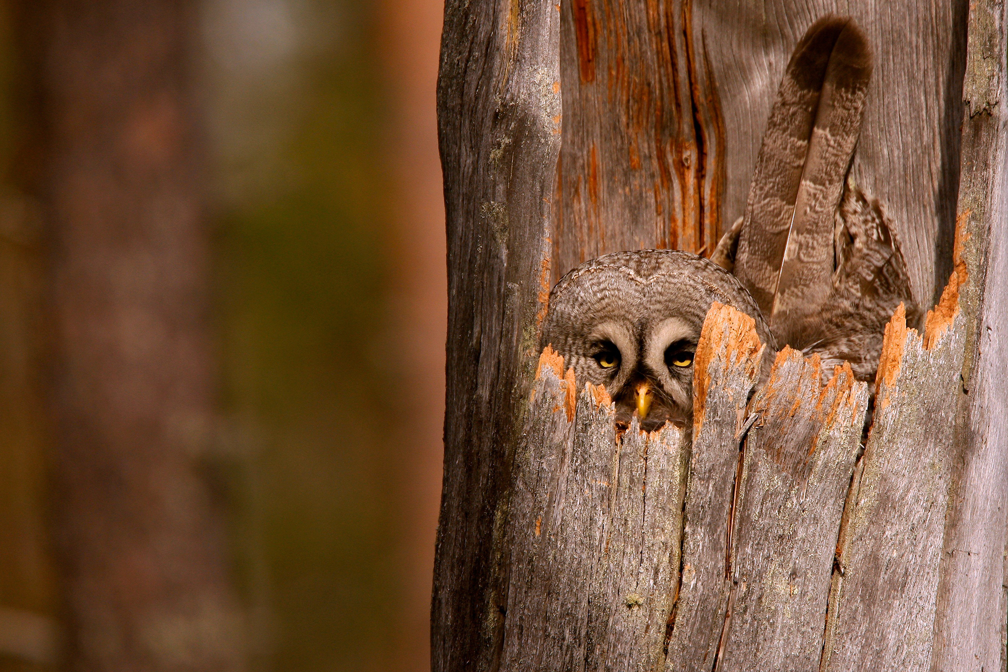 A-camouflaged-grey-owl-protects-its-nest-in-this-Your-Shot-picture-chosen-for-the-wallpaper-wp5602667