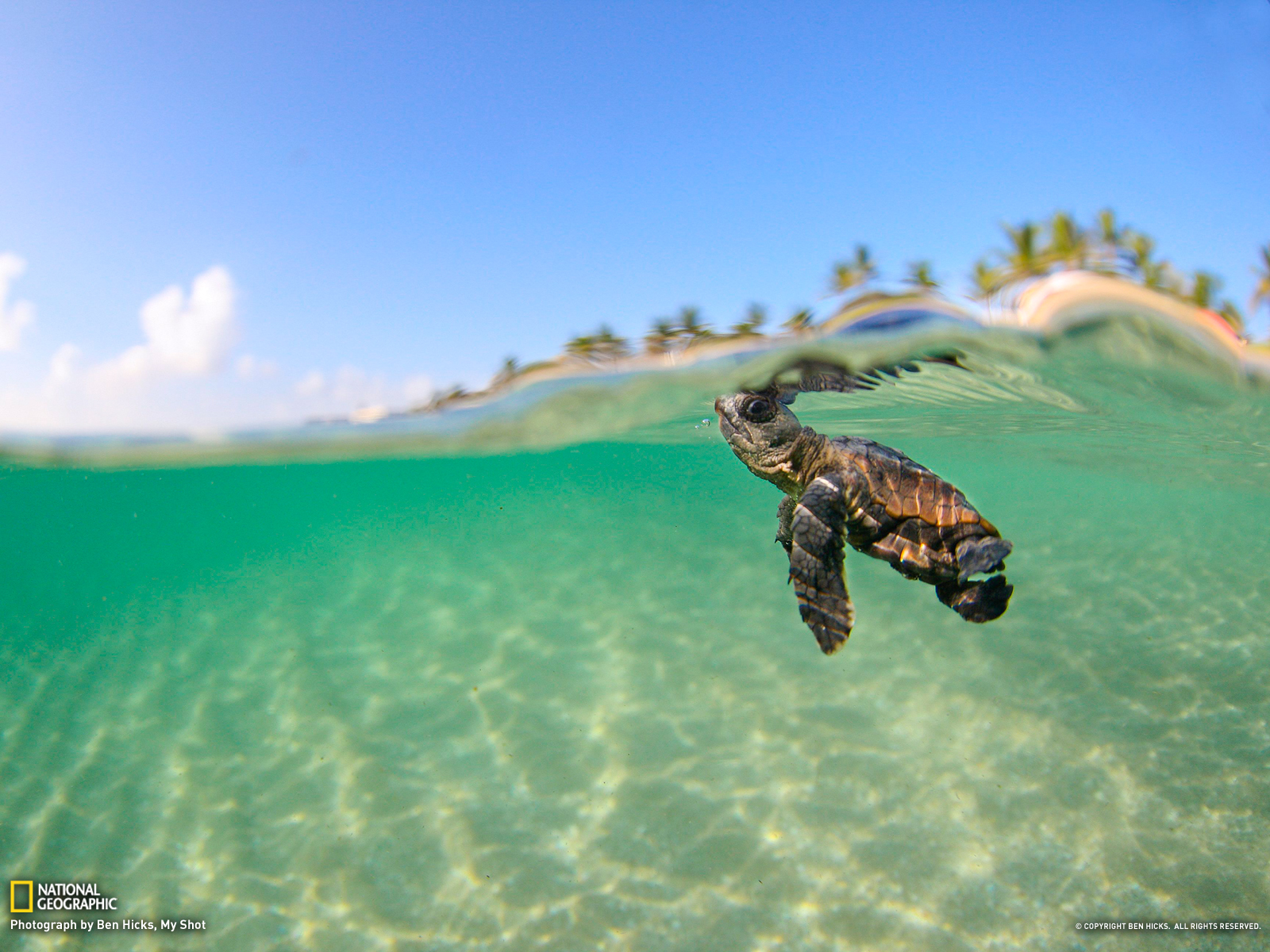 A-loggerhead-sea-turtle-that-never-made-it-to-sea-with-its-brothers-and-sisters-is-released-into-the-wallpaper-wp5203671