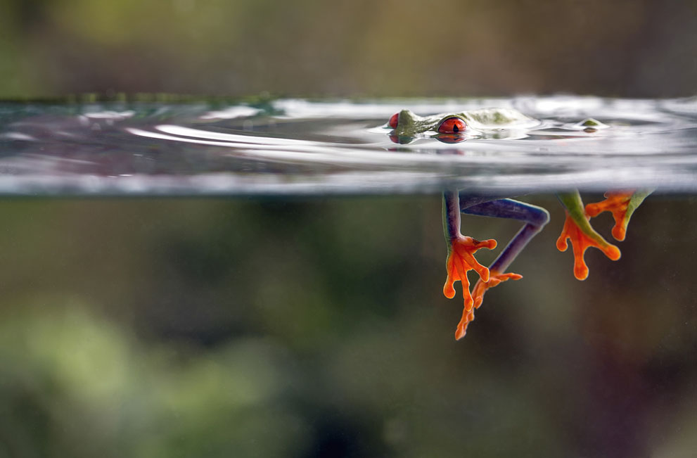 A-red-eyed-tree-frog-underwater-near-El-Arenal-Costa-Rica-Photographed-by-Nicolas-Reusens-o-wallpaper-wp4404084