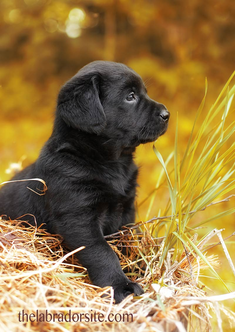 A-six-week-old-puppy-still-needs-his-littermates-But-he-ll-soon-be-ready-to-come-home-wallpaper-wp5203682