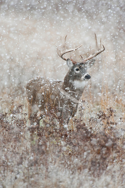 A-whitetail-buck-in-the-snow-wallpaper-wp4404100