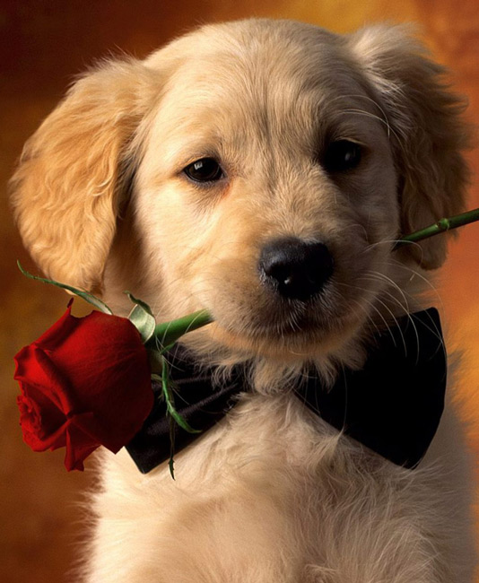 Adorable-puppy-holding-red-rose-Animals-desktop-wallpaper-wp3003020