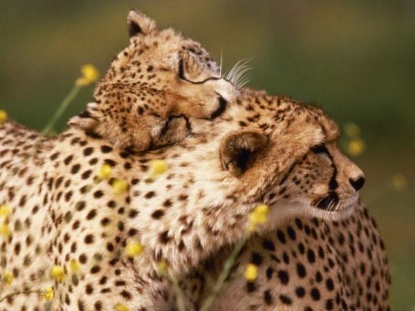Affectionate-Cheetahs-wallpaper-wp6001924