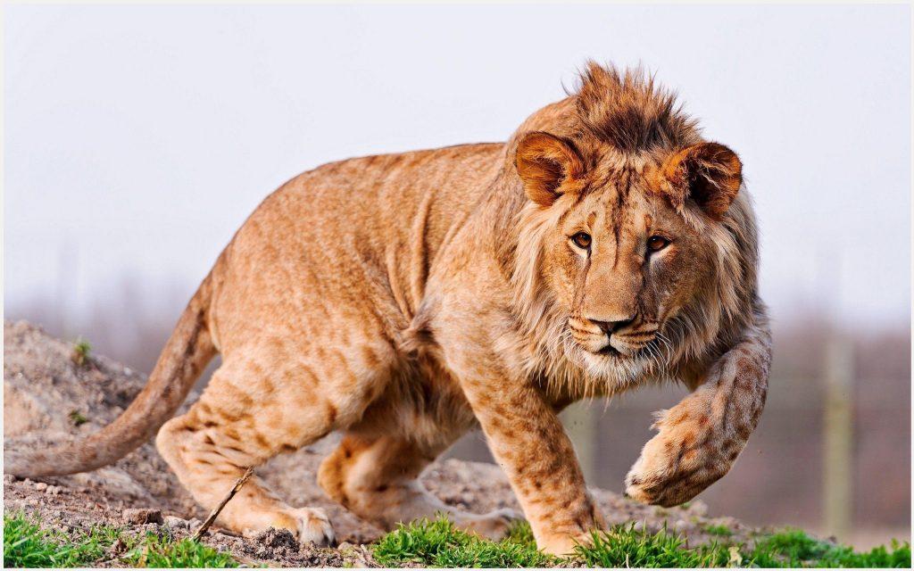 Africa-Lion-africa-lion-1080p-africa-lion-desktop-africa-lion-wall-wallpaper-wp3402198