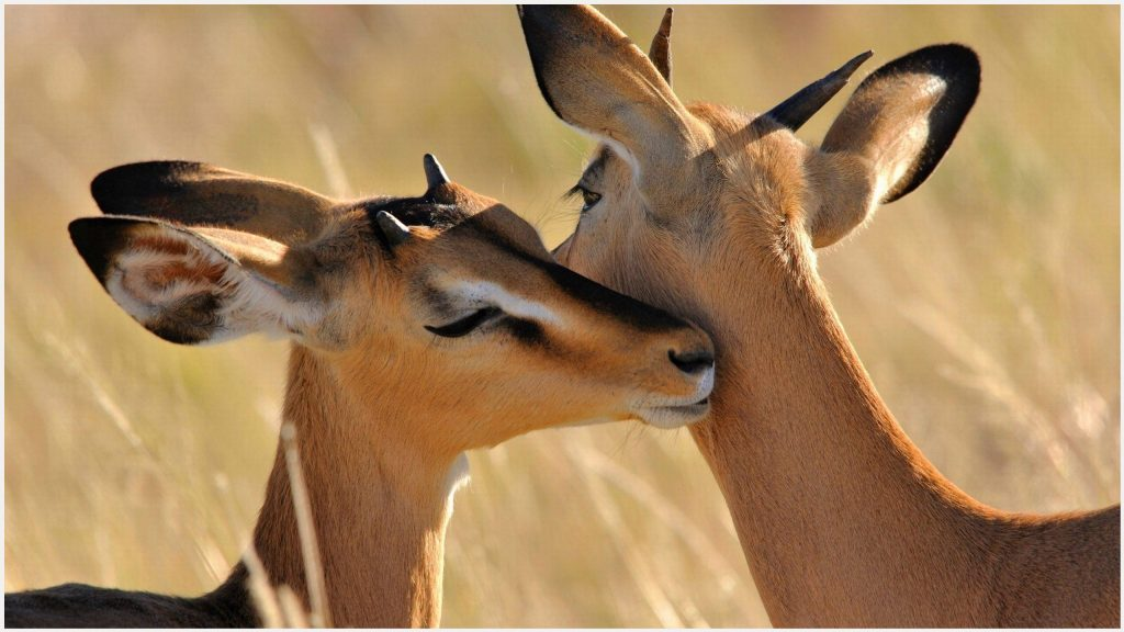 African-Antelope-Cute-Animal-african-antelope-cute-animal-1080p-african-antel-wallpaper-wp3402204