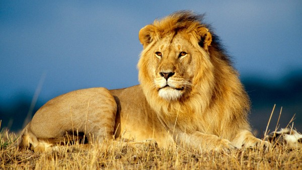 African-Lion-King-wallpaper-wp6001933