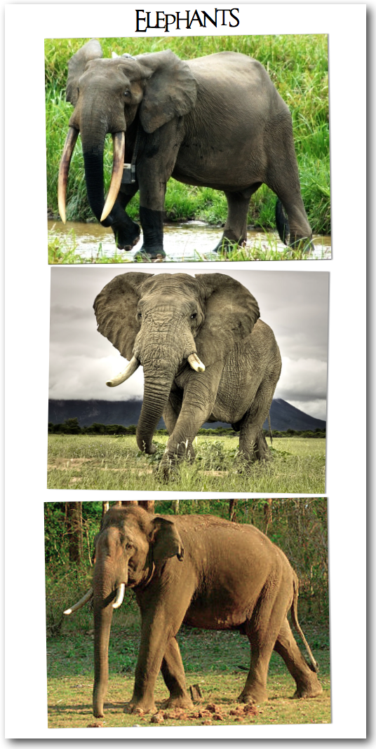 African-bush-elephants-African-forest-elephants-Asian-elephants-wallpaper-wp3003029