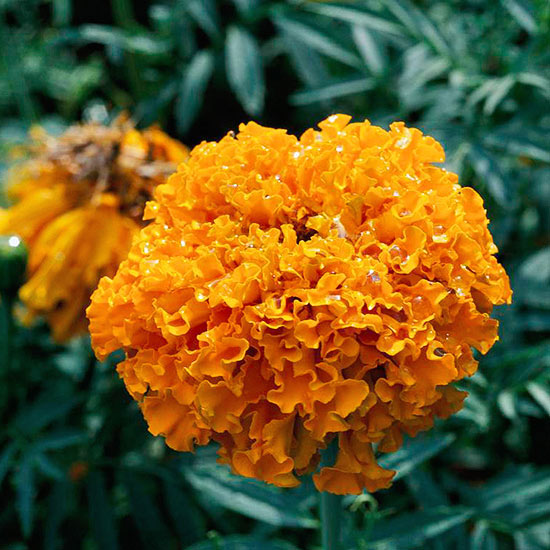 African-marigold-Get-detailed-growing-information-on-this-plant-and-hundreds-more-in-BHG-s-Plant-Enc-wallpaper-wp3003033