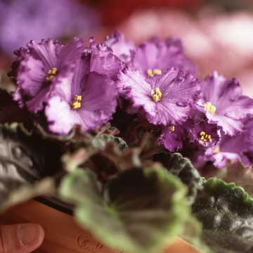 African-violet-Get-detailed-growing-information-on-this-plant-and-hundreds-more-in-BHG-s-Plant-Encyc-wallpaper-wp3003034