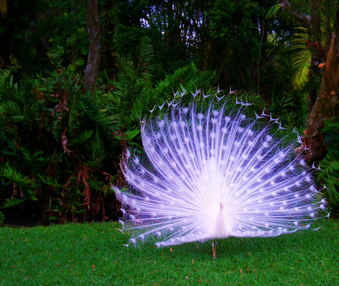 Albino-Peacock-Carries-a-beautiful-opaque-lavender-hue-to-its-feathers-wallpaper-wp3402246