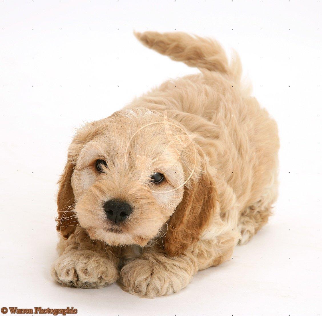 American-Cockapoo-puppy-wallpaper-wp5602850