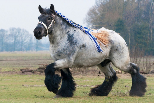 An-unusual-breed-The-Brabant-draft-horse-is-the-foundation-horse-for-the-American-Belgian-Until-ab-wallpaper-wp500127