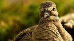 Angry-bird-animal-photography-photo-macro-wallpaper-wp3402371
