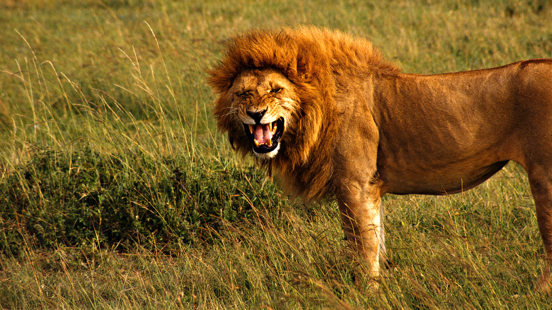 Angry-lion-wallpaper-wp3402409