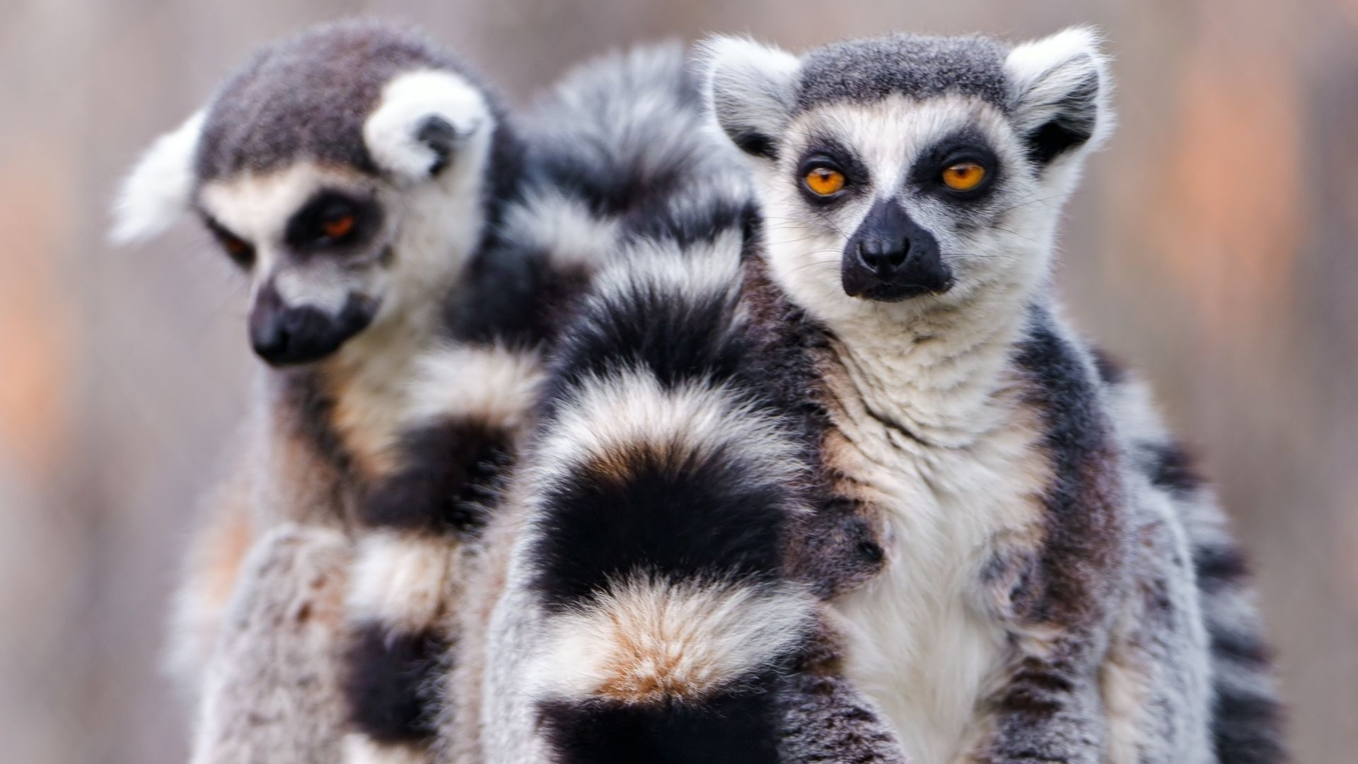 Animals-lemur-nature-1920x1080-lemur-nature-via-www-all-in-wallpaper-wp3402425