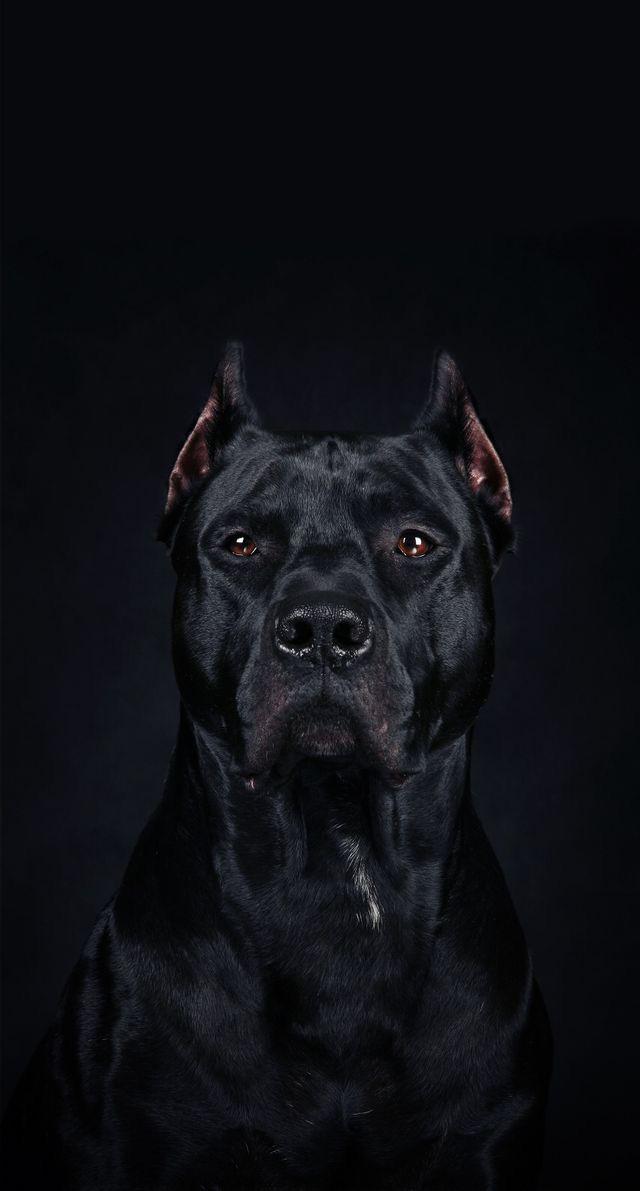 Animals-wallpaper-iPhone-dog-wallpaper-wp480170