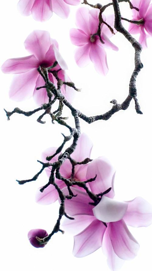 Apple-iPhone-wallpaper-with-Purple-Magnolia-Flowers-iphonewallpapers-wallpaper-wp4804276