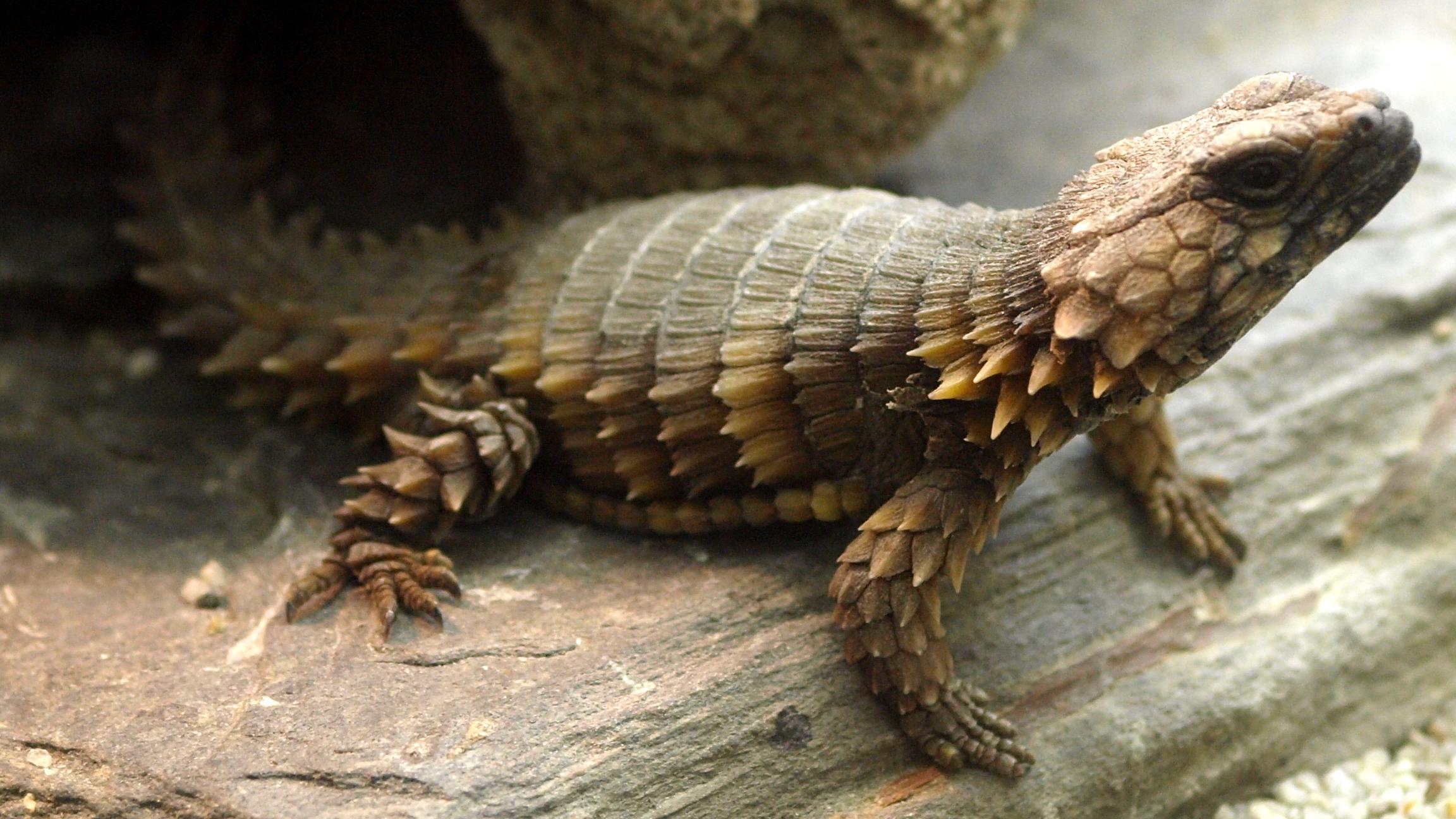 Armadillo-Girdled-Lizard-wallpaper-wp5403384