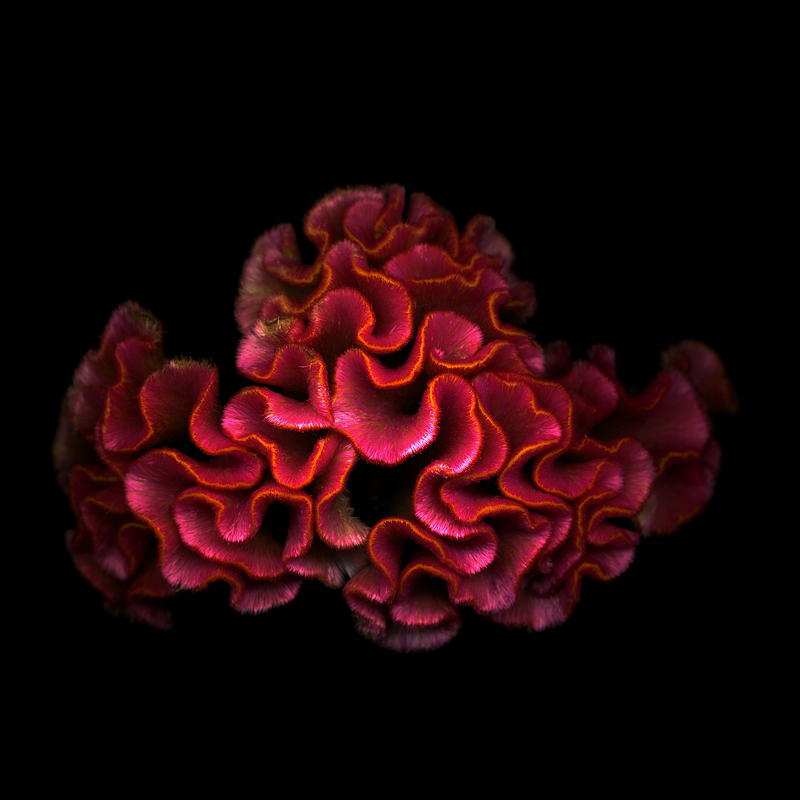 BRAINY-CELOSIA-by-Magda-Indigo-on-px-wallpaper-wp3003878