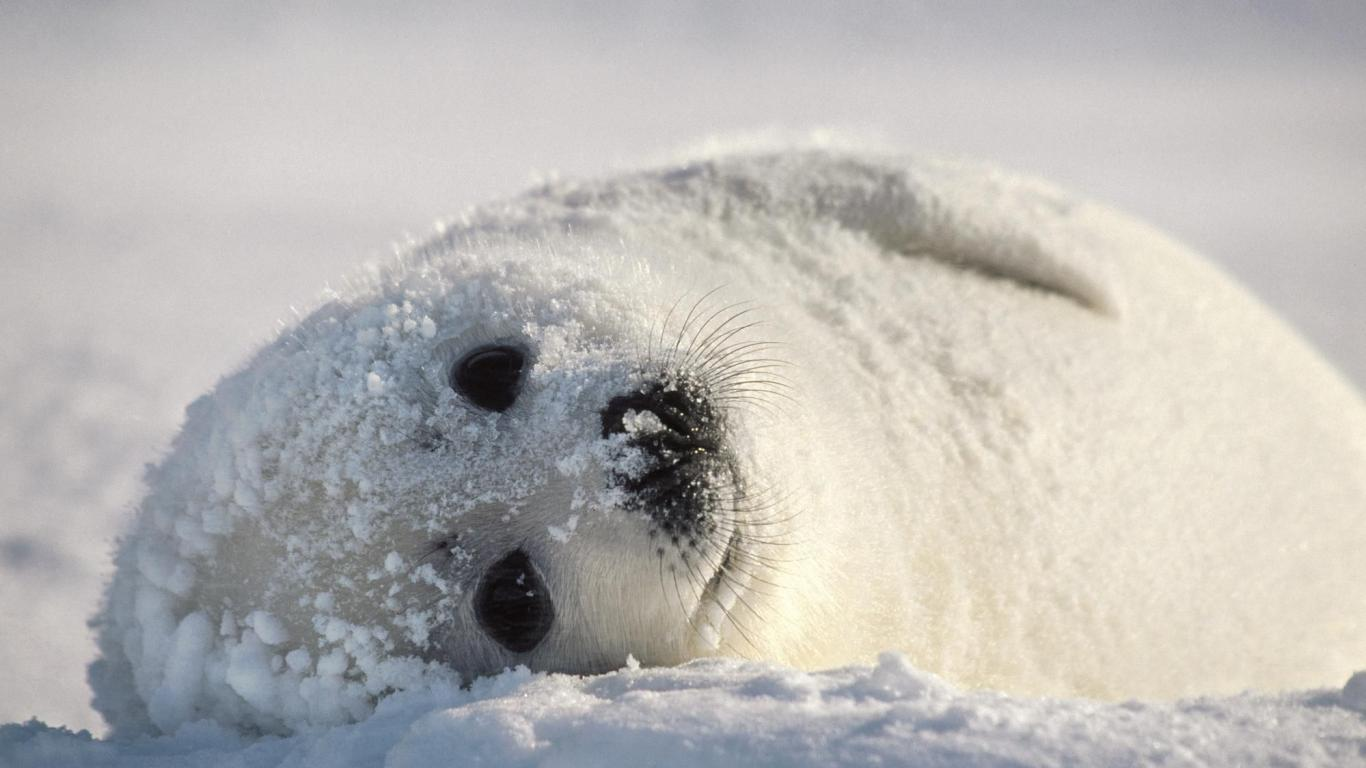 Baby-harp-seal-Harp-seals-spend-most-of-their-time-diving-and-swimming-in-the-icy-waters-of-the-Nor-wallpaper-wp5204363