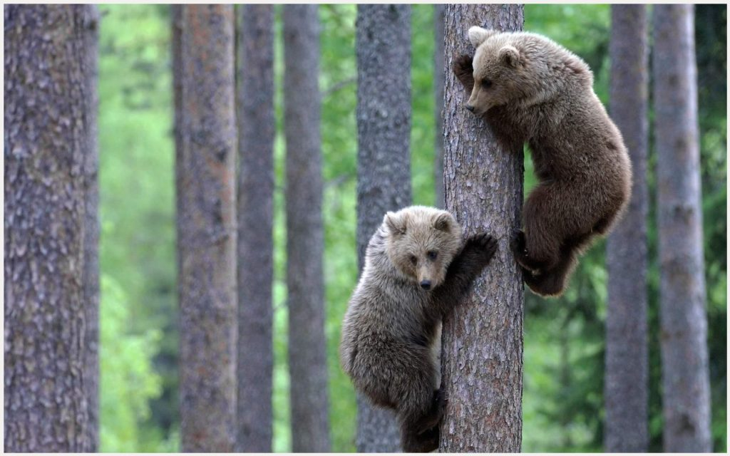 Bear-Cubs-Cute-Animals-bear-cubs-cute-animals-1080p-bear-cubs-cute-animals-wa-wallpaper-wp3402966