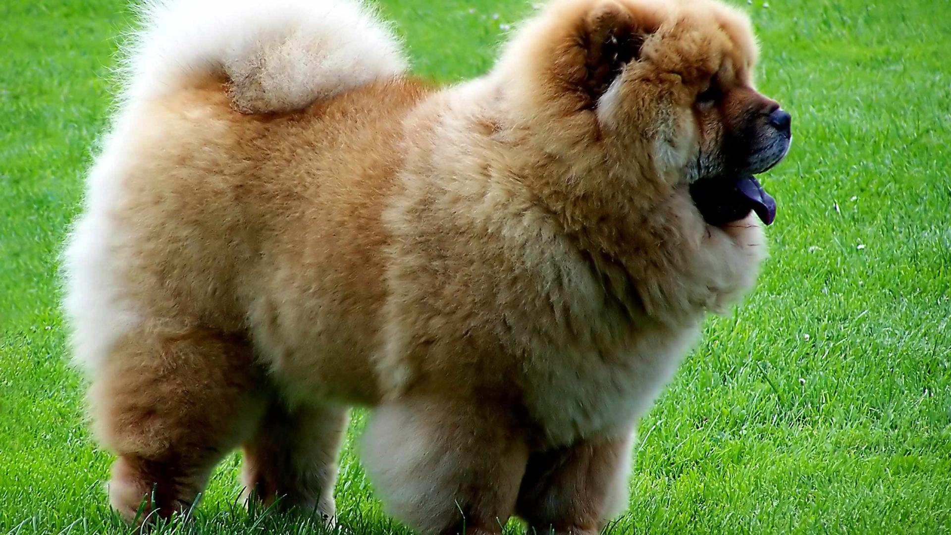 Beautiful-Brown-Puppy-Dog-wallpaper-wp5603272