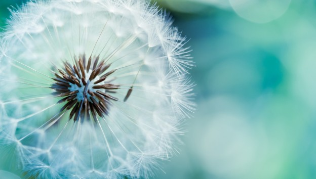 Beautiful-Dandelion-Flowers-HD-Free-Download%C3%82-Dandelion-Flowers-Pictures-Full-HD-1080p%C3%82-wallpaper-wp3603100