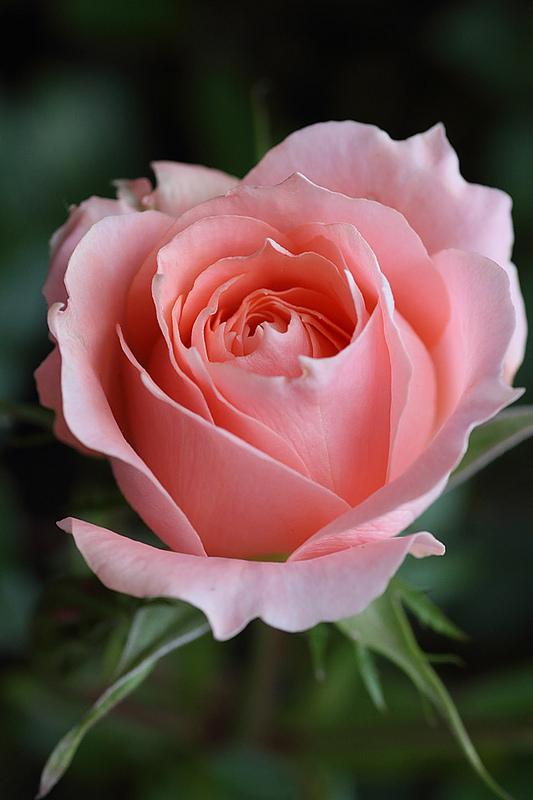 Beautiful-Rose-wallpaper-wp5403620