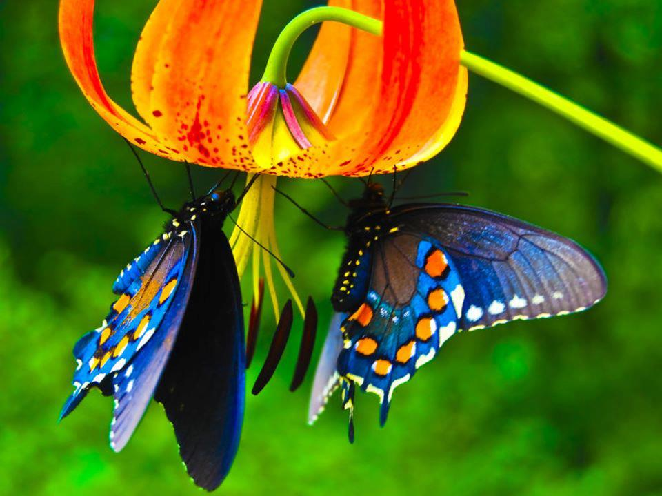 Beautiful-butterflies-for-you-background-wallpaper-wp423974-1