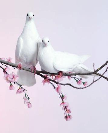 Beautiful-doves-symbols-of-peace-and-love-wallpaper-wp6001700
