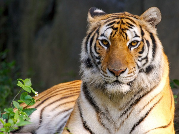 Beauty-of-Tiger-wallpaper-wp6002301