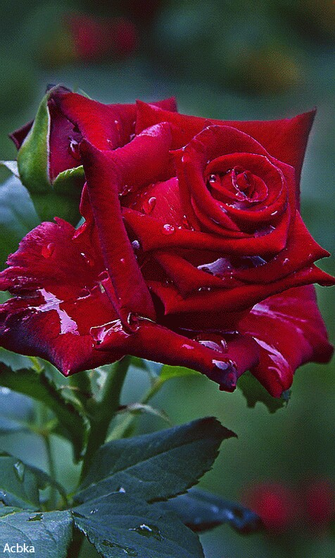Beauty-of-a-red-rose-wallpaper-wp5603309