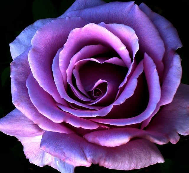 Bella-PurpleRose-wallpaper-wp6002316