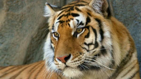 Bengal-Tiger-wallpaper-wp6002319