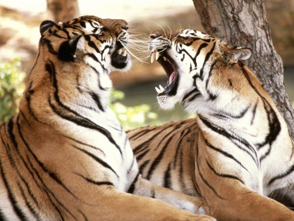 Bengal-Tigers-wallpaper-wp6002320