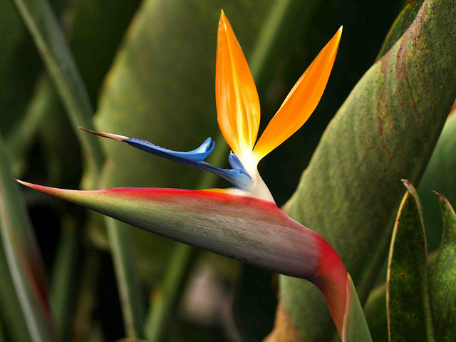 Bird-of-Paradise-Flower-http-flowersgifts-labellabaskets-com-faragmoghaddassi-yahoo-com-wallpaper-wp4003550