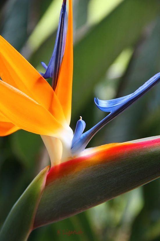 Bird-of-Paradise-flower-http-beautifulbirdofparadise-blogspot-com-wallpaper-wp4003553