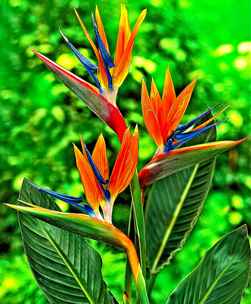 Bird-of-paradise-flower-plant-Strelitzia-reginae-May-in-summer-on-the-terrace-The-bird-of-parad-wallpaper-wp4003548