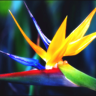 Bird-of-paradise-flower-wallpaper-wp4001101