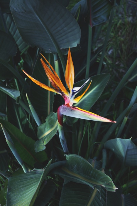 Bird-of-paradise-flower-wallpaper-wp400963