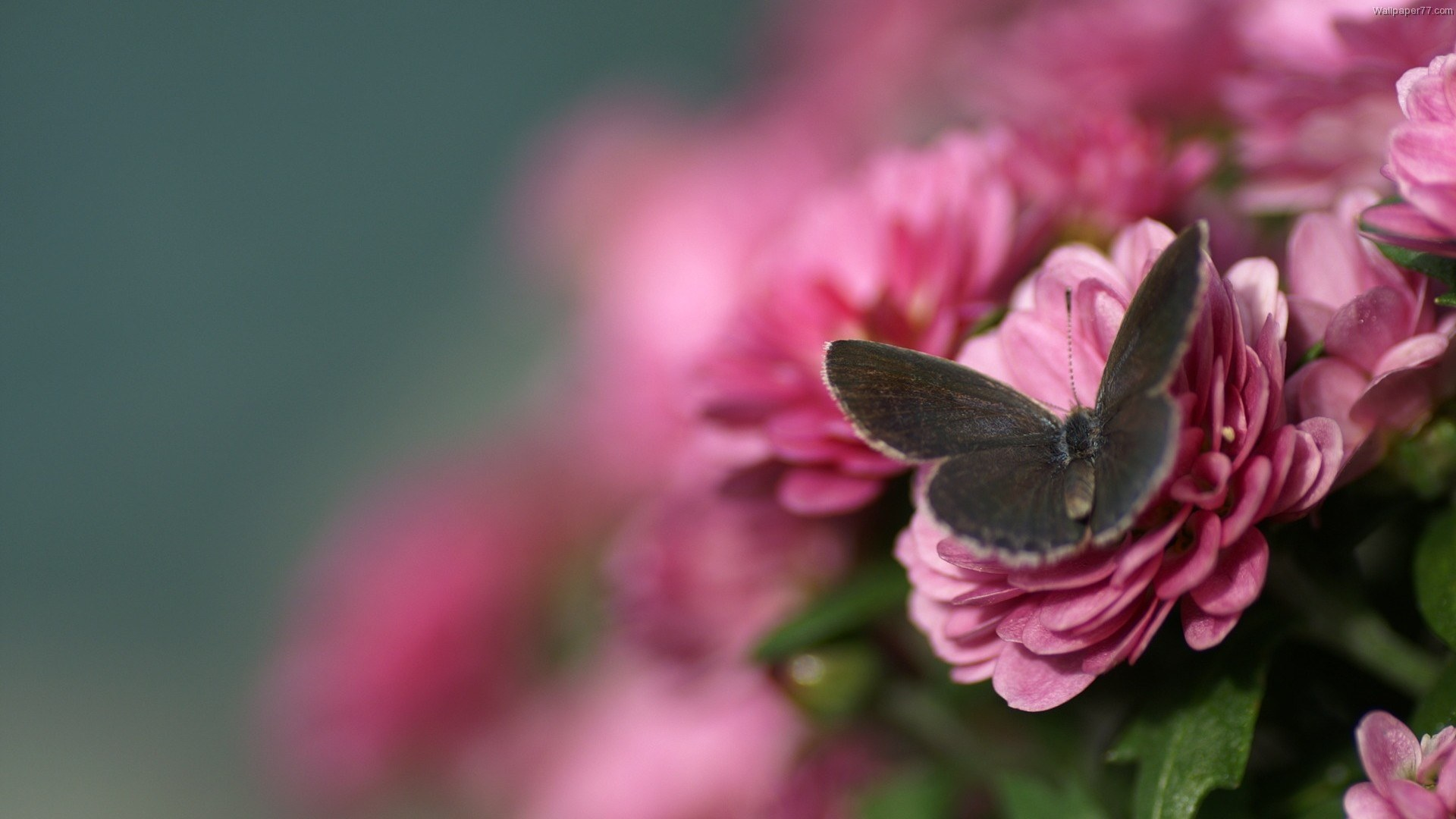 Black-Butterfly-On-Pink-Flower-wallpaper-wp3403283