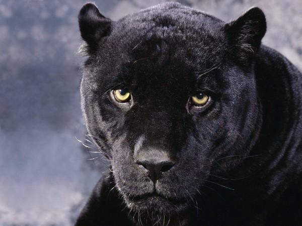 Black-Cheetah-HD-High-Definition-igh-Quality-HD-Desktop-for-Widescre-wallpaper-wp6002400