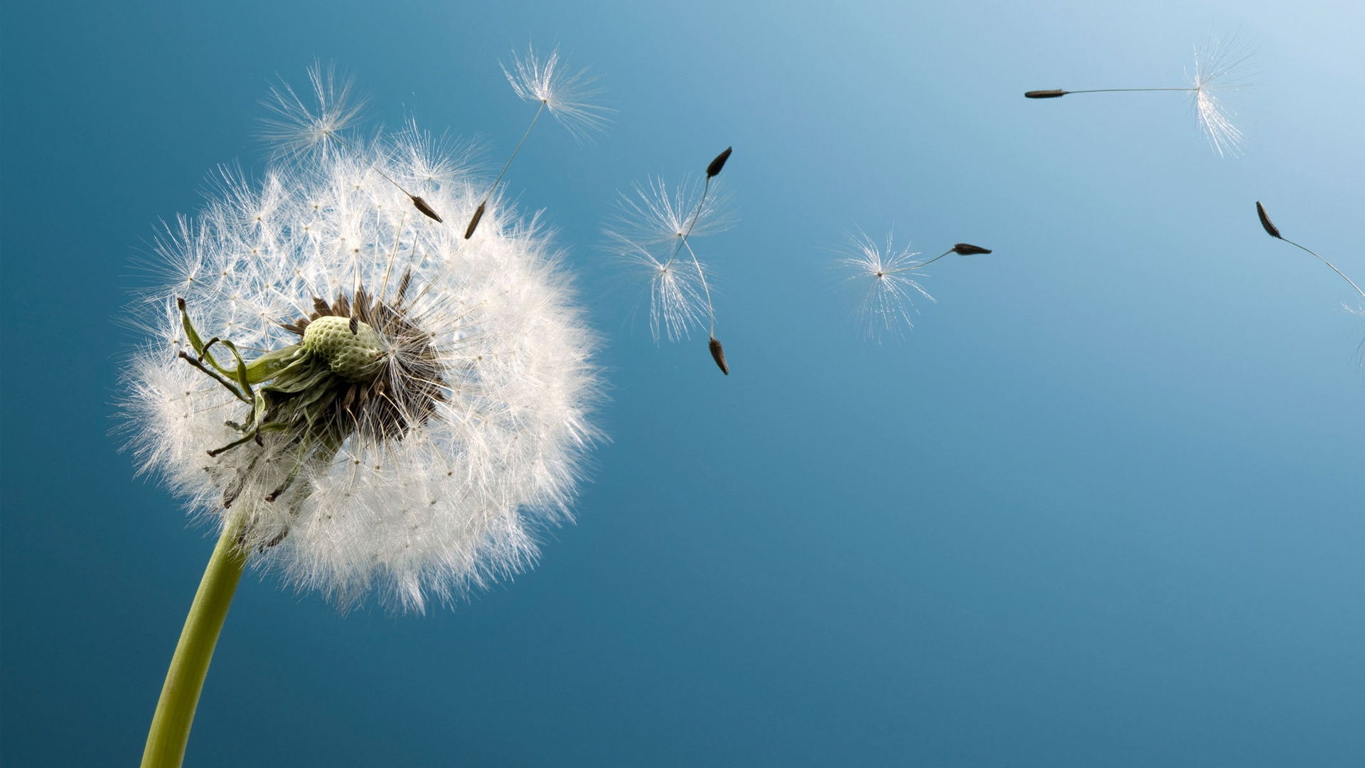 Blown-dandelion-1920x1080-HD-From-Gallsource-com-wallpaper-wp3603500