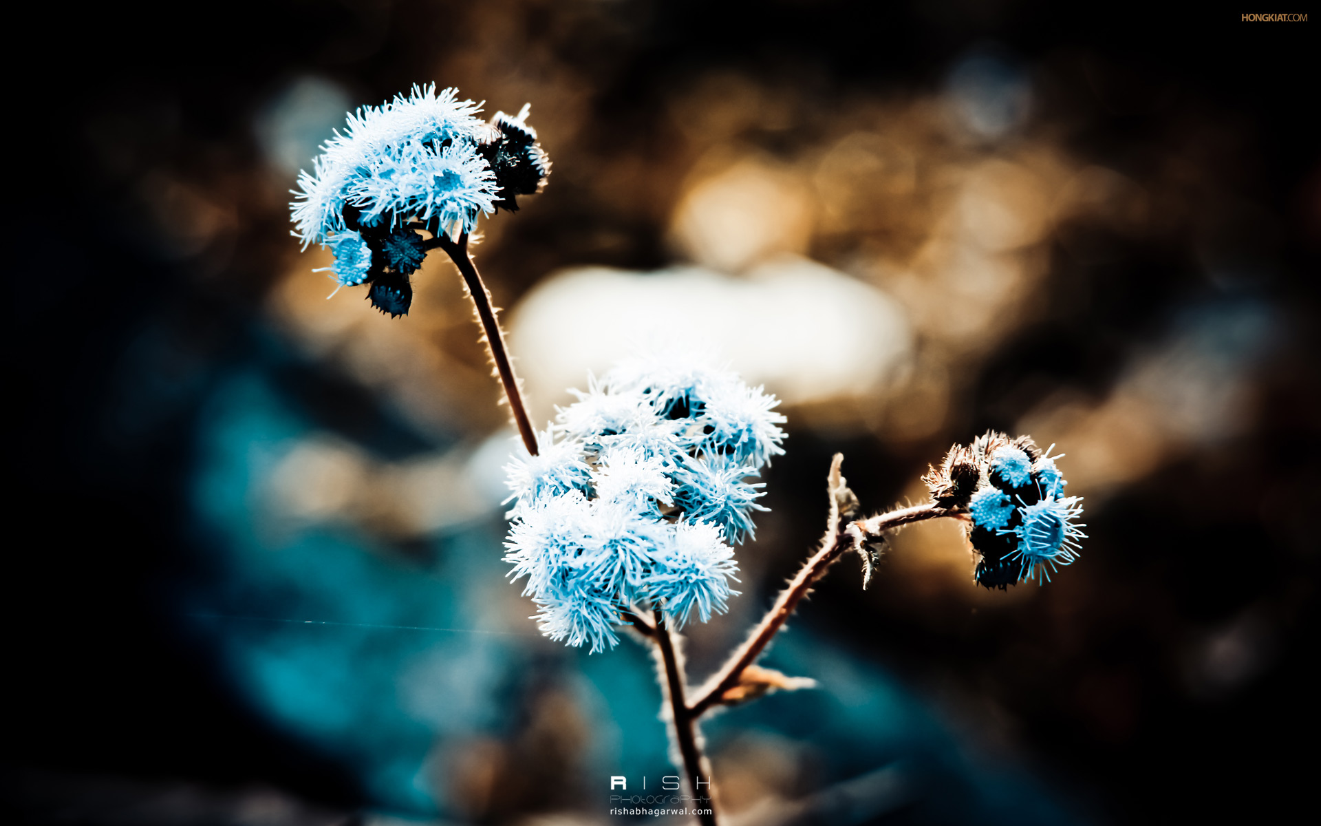 Blue-Dandelion-wallpaper-wp3603517