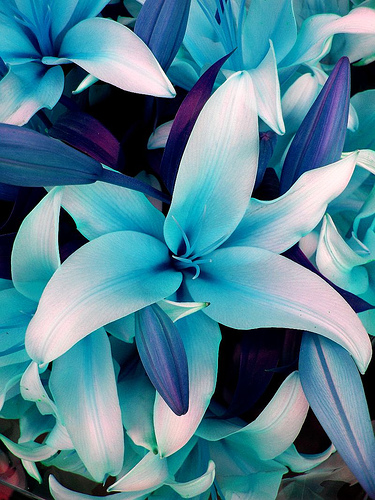 Blue-Lilies-wallpaper-wp424164-1