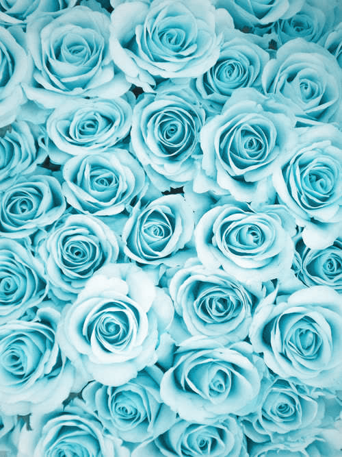 Blue-roses-background-home-screen-wallpaper-wp4405226